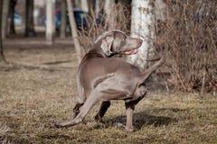 Weimaraner hund utanför Royaltyfri Bild