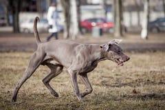 Weimaraner hund utanför Royaltyfria Foton