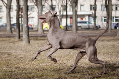 Weimaraner hund utanför Royaltyfria Bilder