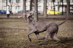Weimaraner hund utanför Royaltyfri Foto