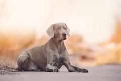 Weimaraner hund utomhus Royaltyfria Bilder