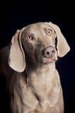 Weimaraner Hundeporträt Lizenzfreie Stockbilder