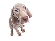 Weimaraner Hundewelpe - traurig Lizenzfreies Stockfoto