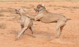 Weimaraner hundkapplöpning som hårt leker Arkivbild