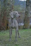 Weimaraner hunting dog Royalty Free Stock Photos