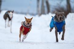 Weimaraner, Ibizan and bassenjsi dogs. Plays Stock Photo