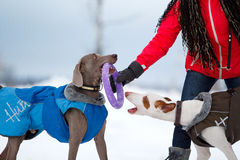 Weimaraner and ibizan dog. Runs and plays on the snow field Royalty Free Stock Photos