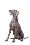 Weimaraner isolated on white Stock Image