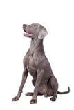 Weimaraner isolated on white. Funny Weimaraner Dog isolated on white background Stock Image