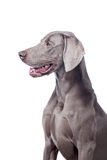 Weimaraner isolated on white Royalty Free Stock Images
