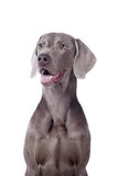 Weimaraner isolated on white Stock Photos