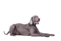 Weimaraner isolated on white Royalty Free Stock Photo
