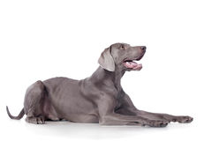 Weimaraner isolated on white Royalty Free Stock Image