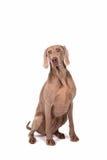 Weimaraner kobiety pies Obraz Royalty Free