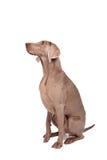 Weimaraner kobiety pies Zdjęcia Stock