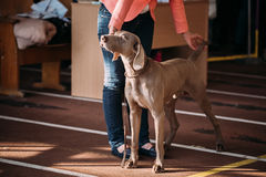 The Weimaraner is a large dog that was originally bred for hunti Royalty Free Stock Photos