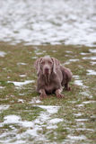 Weimaraner Laying In The Snow Stock Image