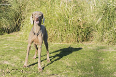 Weimaraner Looking Royalty Free Stock Image