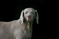 Weimaraner Male Stock Photos