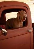 Weimaraner no caminhão velho Imagem de Stock