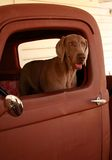 Weimaraner in Old Truck stock image