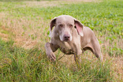 Weimaraner Royalty Free Stock Image