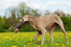 Weimaraner with a pheasant plushie in the snout Royalty Free Stock Images