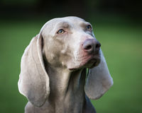 Weimaraner pies Obrazy Royalty Free
