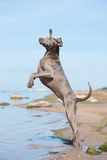 Weimaraner pies na plaży zdjęcie royalty free