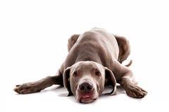 Weimaraner pies w białym studiu zdjęcie royalty free