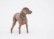 Weimaraner pies w głębokim śniegu Zdjęcia Stock