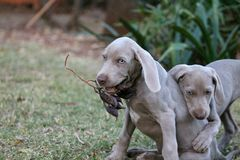 Weimaraner Pointer Breed Pet Dog Puppy Royalty Free Stock Photo
