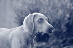 Weimaraner Pointer Breed Pet Dog Puppy Stock Image