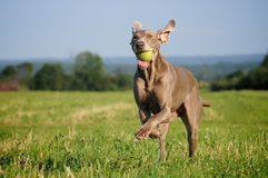 Weimaraner pointer running and jumping after catching the ball stock images
