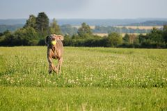 Weimaraner pointer running and jumping after catching the ball Stock Image