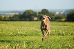 Weimaraner pointer running and jumping after catching the ball. Weimaraner pointer is running and jumping in the field after catching the ball stock photo