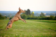 Weimaraner pointer running and jumping to catch the ball Royalty Free Stock Image