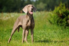 Weimaraner pointer standing the filed Stock Image