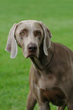 Weimaraner portrait. Dog on the grass Royalty Free Stock Images