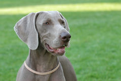 Weimaraner portrait Stock Photos