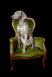 Weimaraner posing in black studio Stock Photography