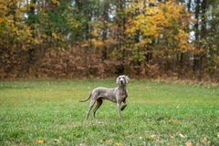 Weimaraner posing on a meadow in autumn landscape royalty free stock photos