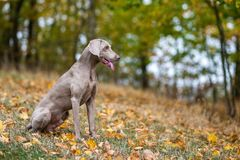Weimaraner posing on a meadow in autumn landscape stock photography