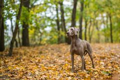 Weimaraner posing on a meadow in autumn landscape stock photos