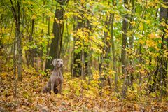 Weimaraner posing on a meadow in autumn landscape royalty free stock image