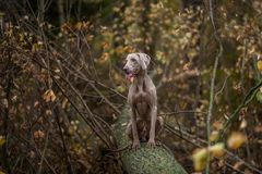 Weimaraner posing on a tree in autumn landscape royalty free stock photo