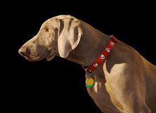Weimaraner Profile on Black Stock Images