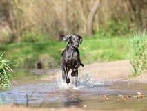 Weimaraner psa bieg w wodzie i sztuka fotografia stock