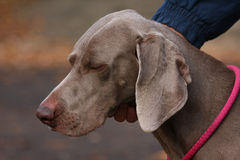 Weimaraner in public park Stock Photo