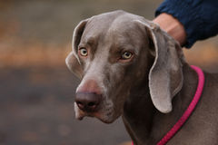 Weimaraner in public park Royalty Free Stock Photography